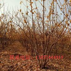 鄢陵绿之洲园林供应腊梅冠1一5米   30一1500元  树形好  品质优