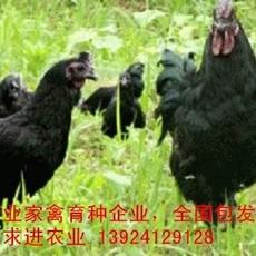 出售五黑鸡苗批发,厂家直销