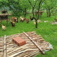 生态放养 优质土鸡  土鸡蛋