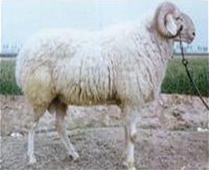 供应小尾寒羊是我国乃至世界著名的肉裘兼用型绵羊品种
