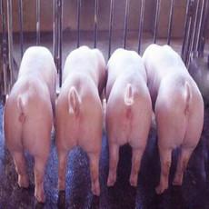 永军养猪场 厂家供应放养育肥生猪  批发优质大白
