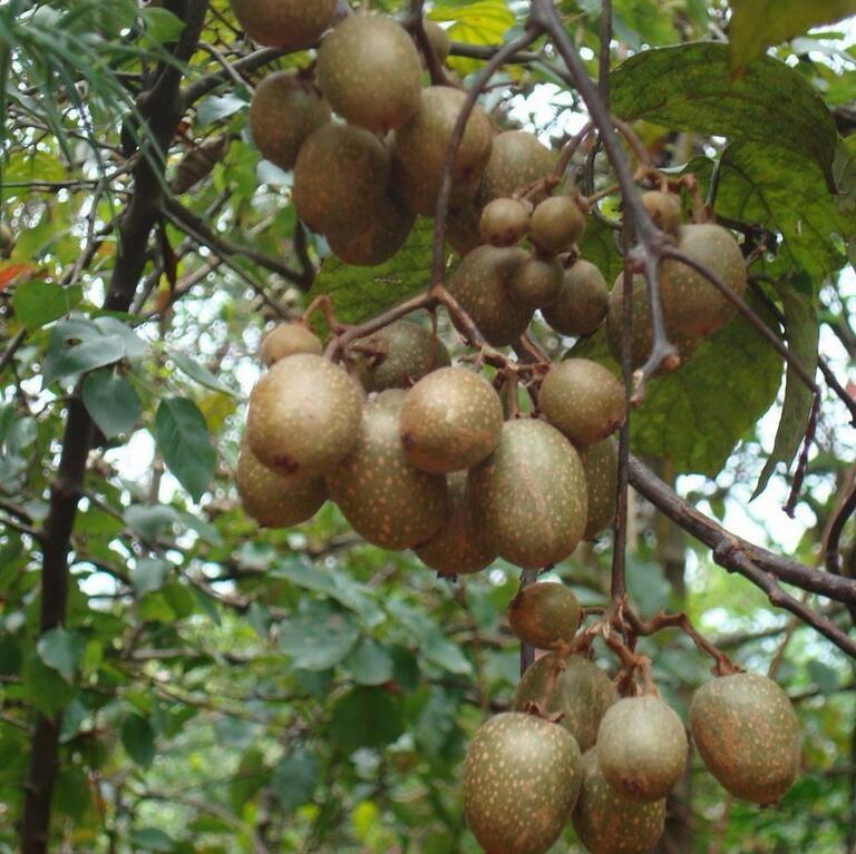 猕猴桃 绿心 可食率高 维C丰富 营养美味