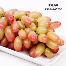 新鲜水果 美人指葡萄 精品葡萄 散装称重 现摘现卖 绿色有机 新鲜采摘