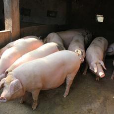 厂家供应优质大猪 生猪