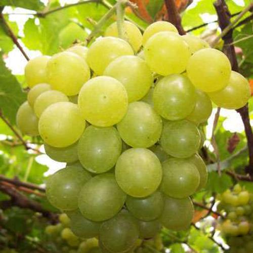 供应 大量供应靖安宝峰新鲜  绿色无农药  贵妃玫瑰葡萄5斤一箱