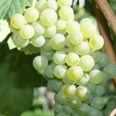 白葡萄浓缩汁美国原装进口浓缩果汁厂家直供
