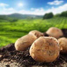 基地直销  纯天然无公害 新鲜现挖  新鲜蔬菜 马铃薯 农家土豆