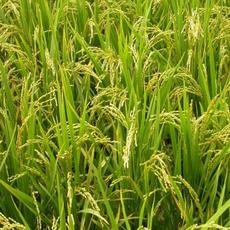 供应 优质水稻