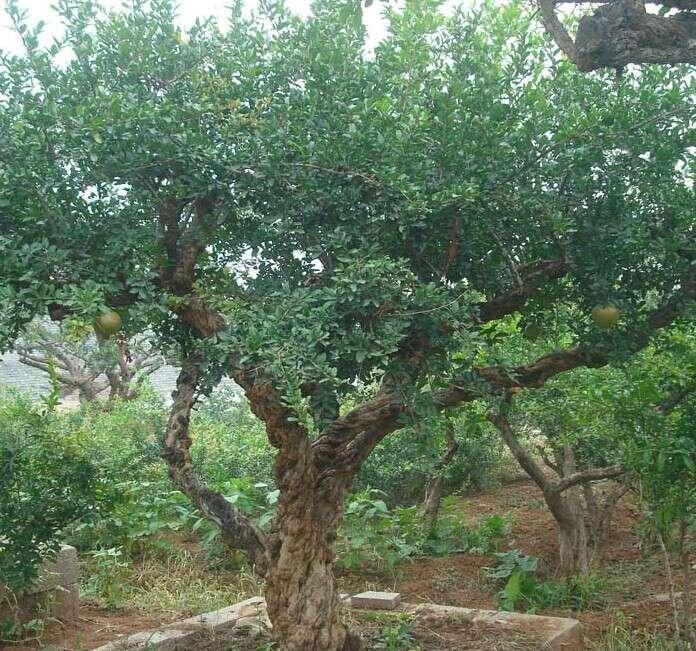 常年供应自然 美观 造型独特的石榴树
