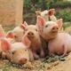 活猪大量批发 养殖基地直销