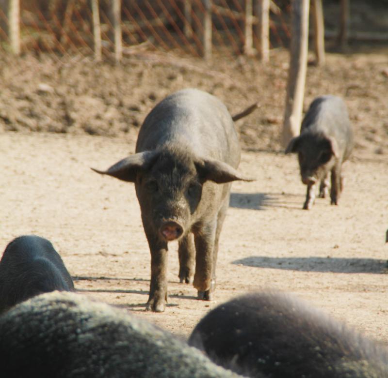 宾县宁远鑫源藏香猪生态养殖肉猪