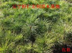 供应红松小苗、红松基地、红松种子、辽宁红松、桓仁红松