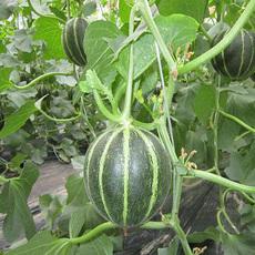 新乡原阳县种植高质量的牛角蜜甜瓜
