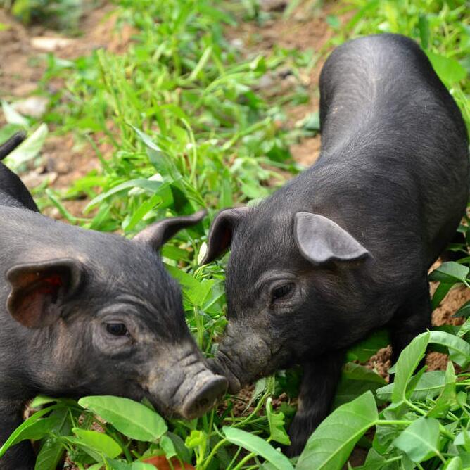 厂家直供   高质量醇正 肉香味美  黑猪肉