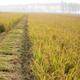 供应 绿色稻谷