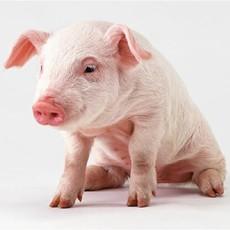 【卫东养殖】大量供应生猪厂价直销