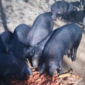 黑猪 生猪养殖 黑猪肉