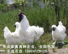 竹丝鸡苗养殖技术 竹丝鸡苗批发商现场培训 免费培训