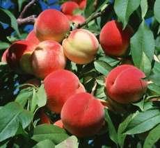 柿子树、核桃、、山楂、苹果、枣树.桃树、杏树、梨树、花椒、果石榴园艺苗木花卉