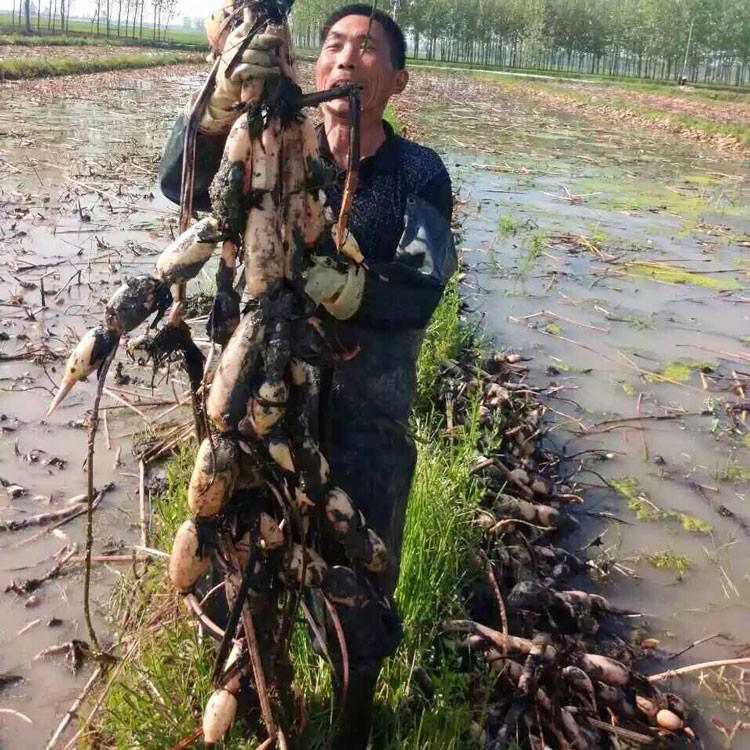 凤台县丹成莲藕种植专业提供藕种销售 3537藕种批发