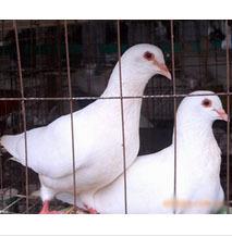 供应鸽子养殖,乳鸽,肉鸽养殖,白羽王