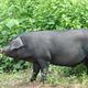 天然养殖,绿色农产品放养土猪