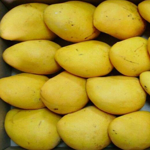 广东云浮特产 新鲜特产水果大芒果 非海南产芒果批发