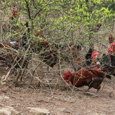 正宗纯放养贵州农二哥正宗山林放养土鸡