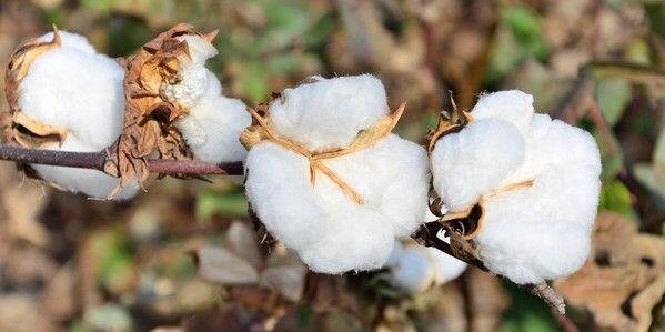 5月31日:进口棉报价小幅调整