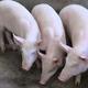 供应 三元猪 二元猪 大白猪 长白猪 肥猪