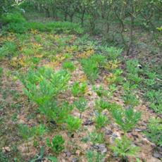 汰腐净 魔芋灵 魔芋专用肥料 魔芋软腐病专用农药 魔芋专用除草剂 专用药