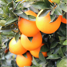 江西特产赣南脐橙5kg装 甜橙手剥橙新鲜水果赣南橙手提礼盒