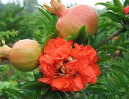 秋季常吃石榴有助预防骨关节炎