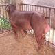 皖营农业科技发展有限公司 供应优质杜洛克种猪