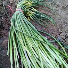 供应 新鲜蔬菜蒜苔  农家肥无农药 绿色蔬菜