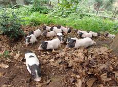 纯种巴马香猪 小香猪 香猪种猪 公母猪