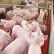 赵龙强养殖家庭农场 供应普通杂猪生猪