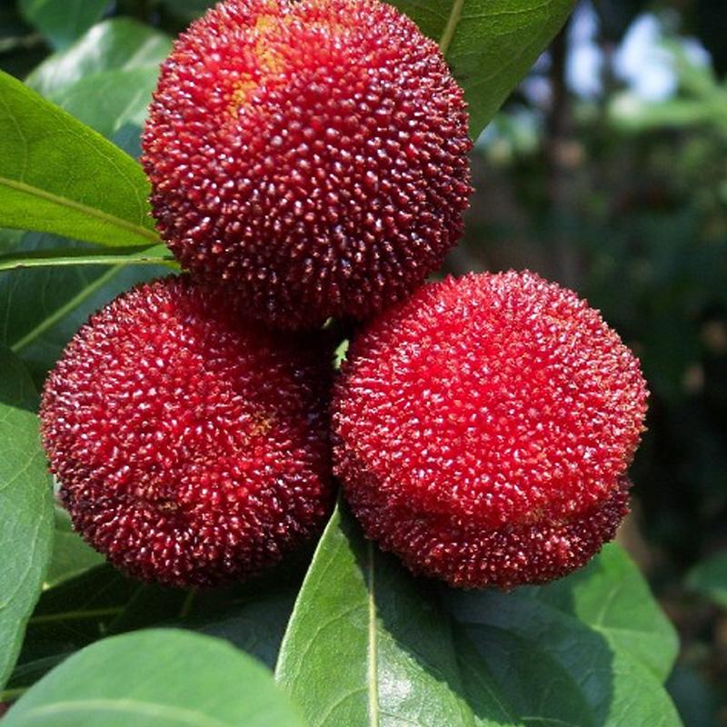 新鲜农家水果2016新品上市鲜杨梅