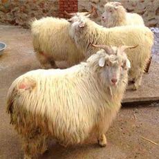 【建和养殖】陕北延安纯天然的散养环境,确保羊肉都是正宗地椒羊肉