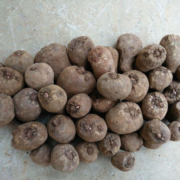 鲜魔芋种子  第二代魔芋种子 花魔芋种子 种子批发