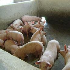 出售瘦肉率高育肥猪 生长快的商品猪