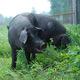 陕西志丹 志丹猪肉 农家散养 肉质鲜嫩 老少皆宜 营养丰富 有机散养 绿色无公害