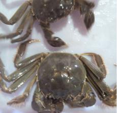 特价批发巢湖大闸蟹 鲜活水产河蟹 散装螃蟹 公母大闸蟹