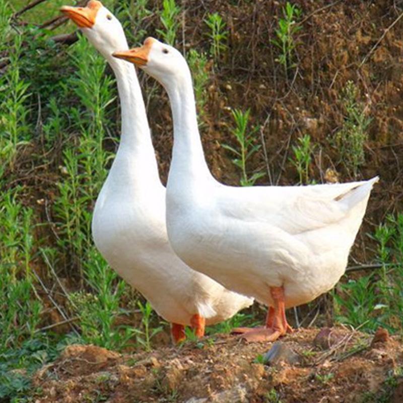鹅��嫹�9��y�'�f�x�_供应大量无饲料养殖的鹅