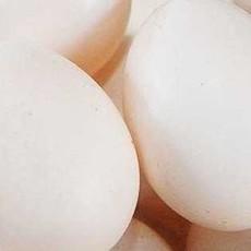 出售鸽子蛋   肉鸽养殖场出售新鲜鸽子蛋