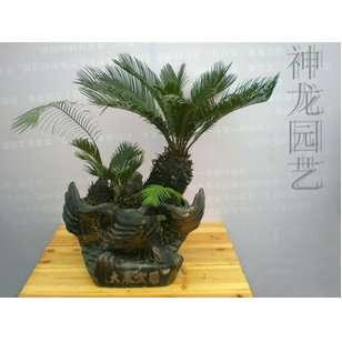 铁树价格_【苏铁市场价150元,会员价120元.全年供货】价格,厂家