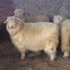 【建和养殖】陕北羊  地椒羊肉 新鲜 羊肉 麻辣火锅食材羊肉