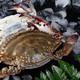 隆亿食品 新鲜梭子蟹 个大肉肥  正宗东港梭子蟹  海鲜批发 200斤起批