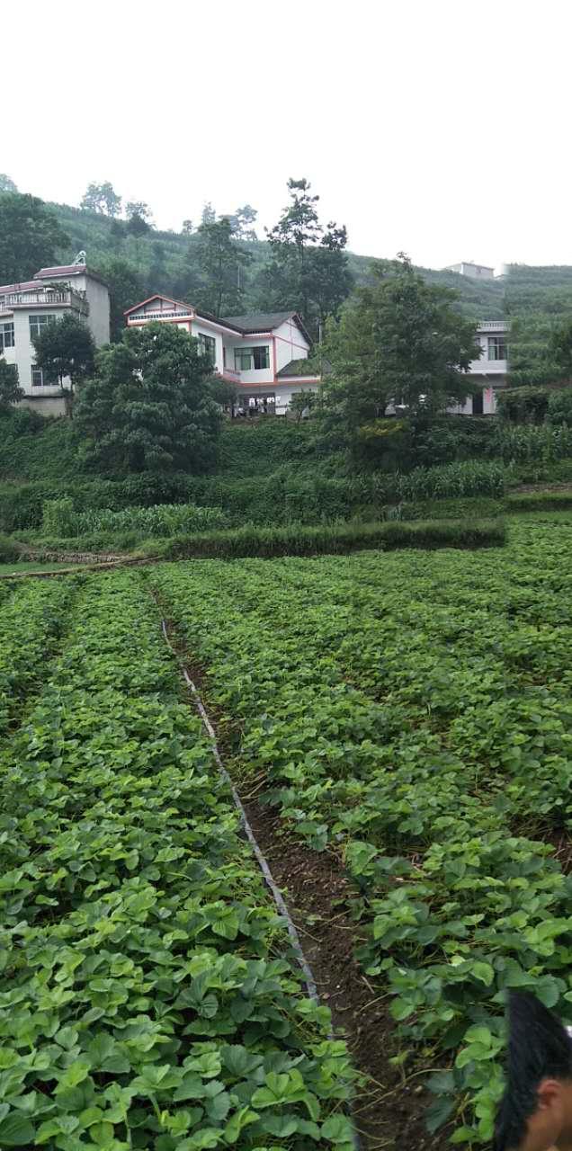 贵州产地世宇草莓苗