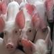供应 农家自养  原生态 生猪  牲猪